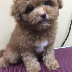 [Pets Kampong] Adorable Toy Poodles for sale. For more details please visit/call Yew Tee Point outlet at 65093500.(AVA License No.