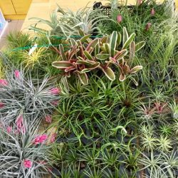 [Love In A Bottle] New batch of airplants just arrived. Please feel free and check it out.