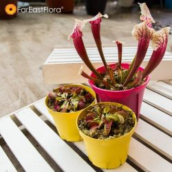 [Far East Flora] Be adventurous and grow some meat-loving plants today! Come shop at our garden centres or shop online >> http://www.