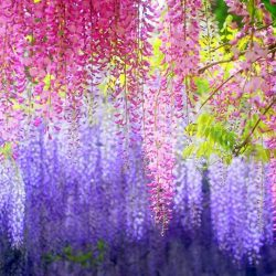 [Sushi Tei] The Wisteria Tunnel in Kawachi Gardens, JapanPhoto credits: Megan Parry (www.