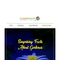 [Floweradvisor] Have You Ever Know These Surprising Facts About Gerberas?