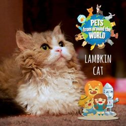 [Pet Lovers Centre Singapore] The Lambkin cat is a cross between the popular Munchkin cat (a breed named after the Wizard of Oz) and