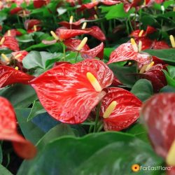 [Far East Flora] It's impossible to overlook Anthuriums!
